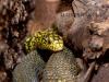 Elaphe carinata