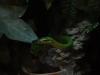 Rhadinophis prasinus